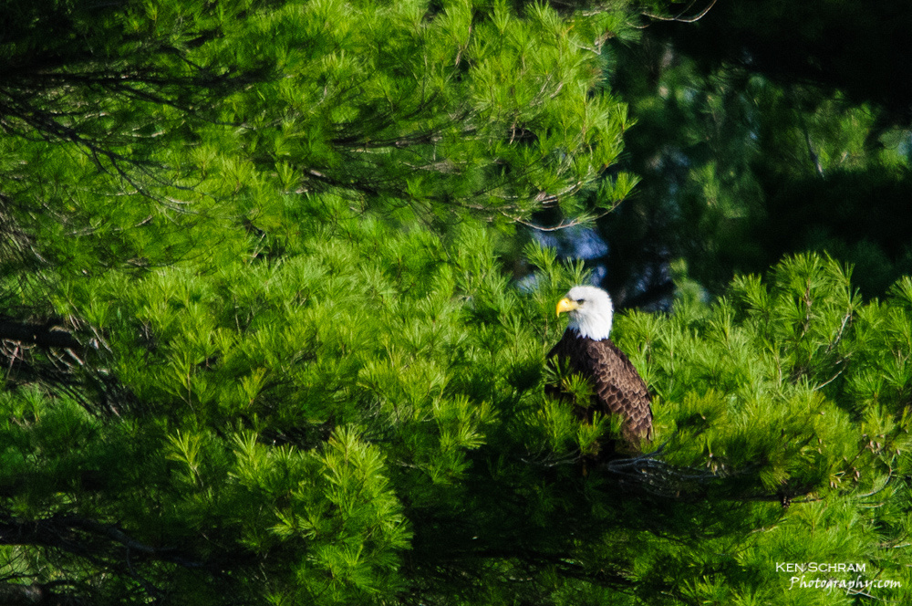 photographing a bald eagle snagging a fish from the river with a Sigma 150-500mm lens