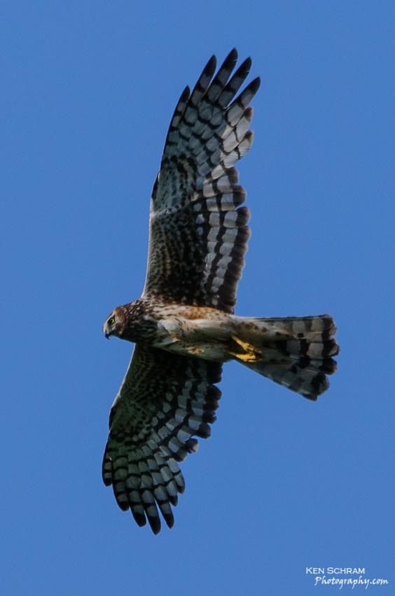 Female Northern Harrier (Circus cyaneus) in flight
