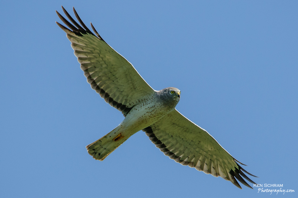 Male Northern Harrier (Circus cayneus) in flight