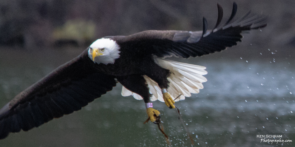 bald eagle leg bands river wildlife Ken Schram Photography
